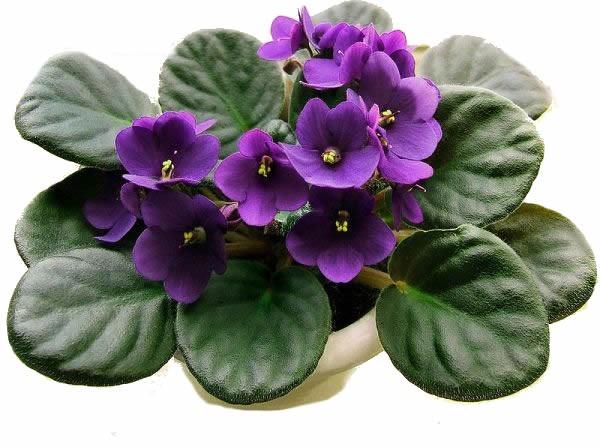 Photo of O tombo no vaso de violetas